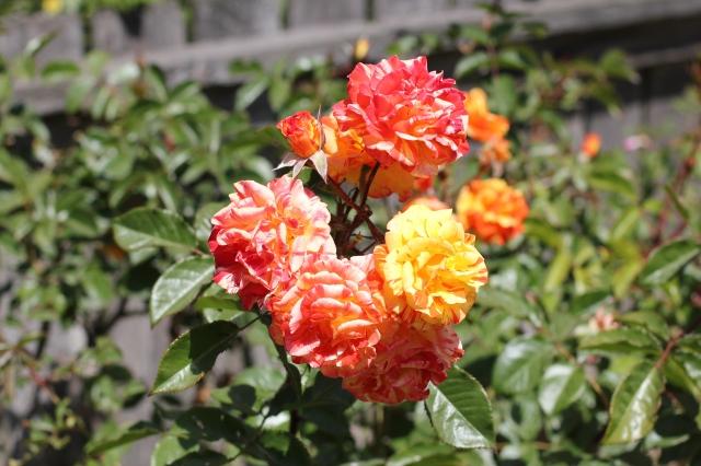 tie die roses