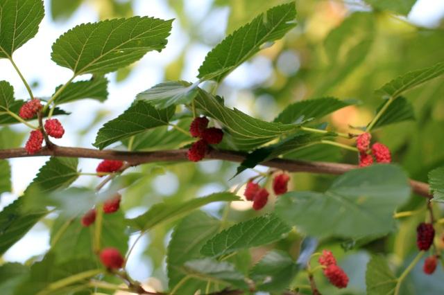 urban mulberries