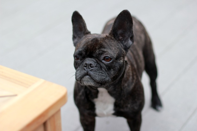 melpomene the french bulldog