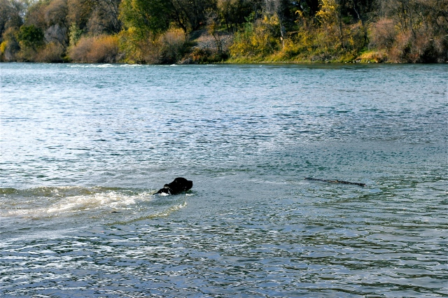 dog fetching in river