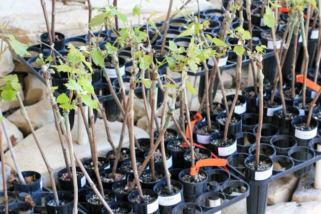 tablas creek vineyards paso robles grapevine seedlings